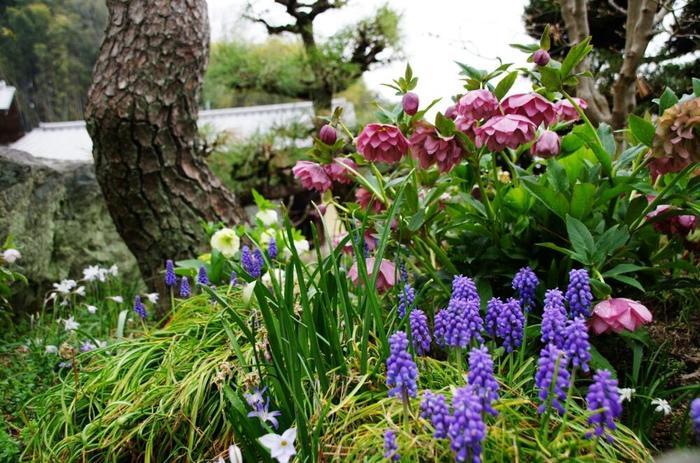 薬用や茶花として、明治時代から日本に導入されていたというクリスマスローズは「寒芍薬(カンシャクヤク)」や「初雪起し」という和名で親しまれていたそうです。その頃の原種系と違いバラエティーに富む交配種ですが、華美になりすぎない花の姿は、和風の庭園にも品のある美しさを添えてくれます。