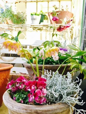 アプリコット色の八重咲きが可愛らしいクリスマスローズと、パンジー、シルバーリーフの寄せ植え。高さのある花柄や葉柄がアクセントになっていますね。