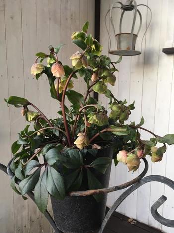 うつむきがちな花をよく観賞したい場合は、目線の高さのスタンドに鉢植えを置いてみると、より身近な存在に。 シャビーな鉢と原種系交配種「ウィンターベル」のシックな姿が似合っていますね。