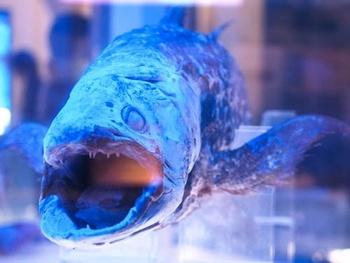 沼津港深海水族館の名物は「シーラカンス」。シーラカンスは古代に生息した深海魚として知られ、絶滅したといわれていたほど貴重な魚です。そんなシーラカンスの冷凍標本を見ることができるのが、沼津港深海水族館なのです。