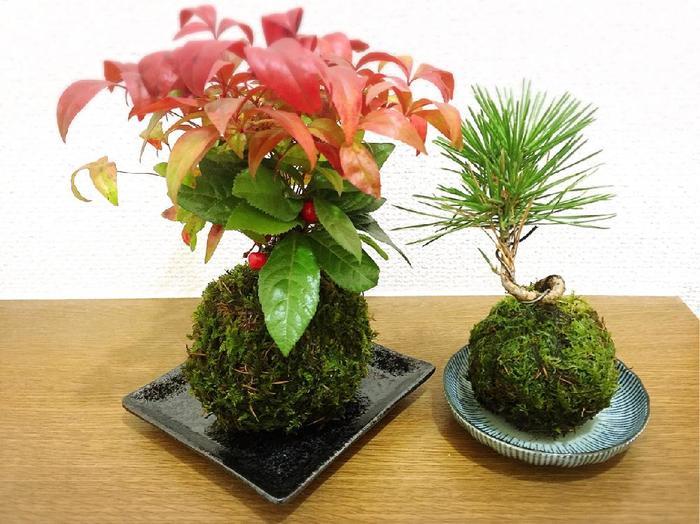 樹木を元にした盆栽はもちろん、草花も含め、色々な植物で楽しめる「苔玉」。モダンで可愛らしい雰囲気は、玄関先やリビングに飾っても。