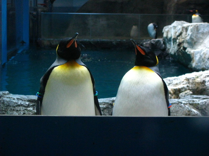 この水族館では、ペンギンの繁殖にも力を入れています。その繁殖の数も、日本の水族館の中でも長崎ペンギン水族館が最も多いのだとか。色々な種類のペンギンを見ることができるのが、この水族館の魅力です。