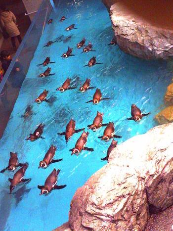 ペンギンが自由に泳げる深さ4メートルのプールは圧巻です。いつもは陸の上に集まって、あまり動かないイメージのあるペンギンたちも、このプールでは生き生きと泳いでいます。