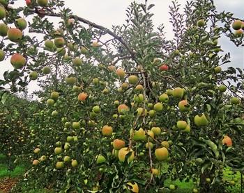 1990年に英国王立植物園から飯綱町に寄贈され、栽培が続けられている英国の料理用りんご・ブラムリ―や、小型の早生品種・高坂(こうさか)りんごなども栽培されています。