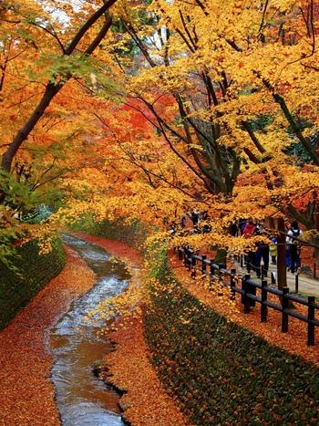 四季折々の魅力で私たちを迎えてくれる京都、そのなかでも秋の紅葉はちょっと別格。赤や黄色、オレンジに色づいた木々が街中を彩り、ちょっとした景色が美しさを切り取ったポストカードのようです。