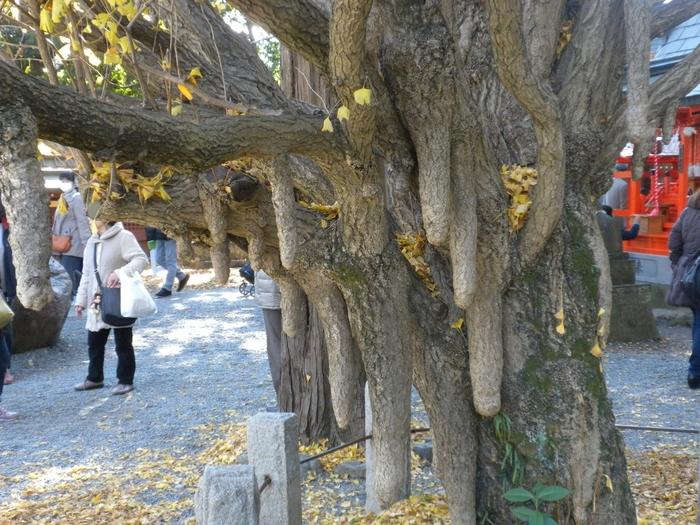 秩父宮妃殿下が植樹された銀杏の木。成長するにつれ、女性のふくよかな胸のような形になったことから「乳銀杏」とも呼ばれているそうです。秋に訪れると、ちょうど紅葉がキレイな時期。境内を散策しながら、銀杏の木を探してみませんか?