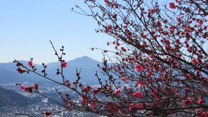 山頂駅を降りると、蝋梅(ロウバイ)園が広がっています。見ごろは1月下旬から2月中旬ごろ。花の甘い香りが一面に漂い、自然に豊かさを感じられます。