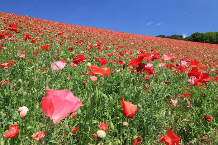 毎年6月にはポピーが咲き誇ります。「天空のポピー畑」と称されるほどの美しさに、多くの方が訪れています。