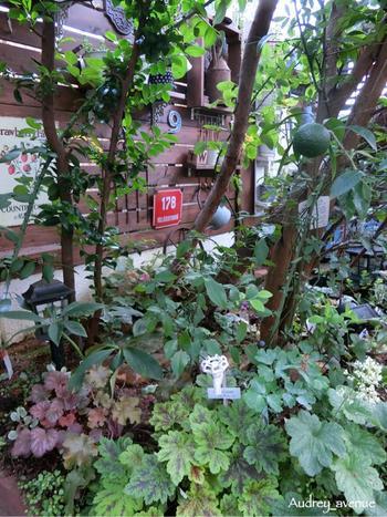 リーフガーデンに植えられたクリスマスローズ。ヒューケラもクリスマスローズと同じような生育環境を好みます。花の無い時期でも葉の彩りを楽しめる、ヒューケラとの組み合わせも素敵ですね。