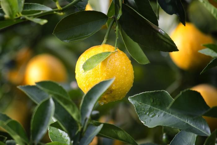 栄養豊富なレモンは、健康や美容の食材としてはもちろん、さわやかな香り、クエン酸効果など幅広く活躍してくれる食材のひとつ。特に、ピタピンCは皮に豊富に含まれているそうです。アレンジレシピなども豊富なレモンは使い道がいっぱいですよ!