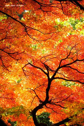 新宿御苑の真っ赤に色づいた紅葉は、まるで燃えているかのよう。こんな景色が見られるのは秋ならではですね。