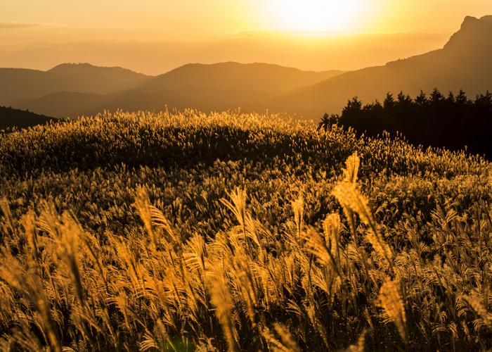 四季を通して美しい曽爾高原ですが、何と言っても一面ススキに覆われた秋の曽爾高原は圧巻。まるで絵本の中の風景です。 青空にそよぐススキはとても爽やかですし、夕日を浴びてキラキラと輝くススキも幻想的な美しさ。