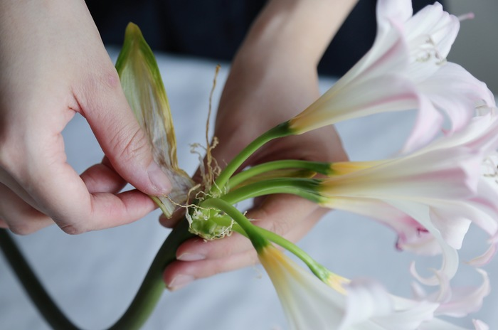 開花が進むにつれて茶色く変色した外側の皮はむしり取り、萎れた花がある場合はハサミで切り取ってあげましょう。蕾が咲いたら、また同様に葯を取り除く作業をします。
