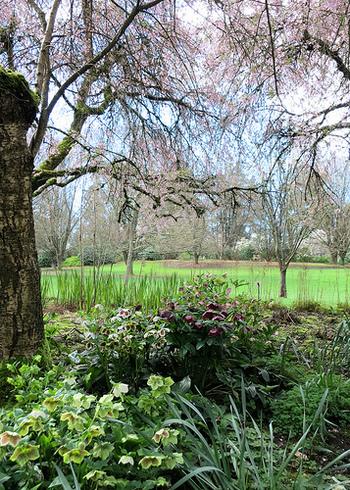 冬の庭やシェードガーデンに彩りを。『クリスマスローズ』の魅力と基本の育て方