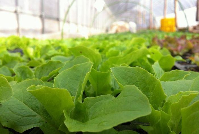 他にも、本来どの野菜に備わる少しの⾍や病気を跳ね返す免疫⼒を尊重し、与える肥料の量を見極めています。野菜⾃らが自力で根を張り、自ら必要な栄養を求め⽣きる力がつけられる程度の必要最低限の量を与えるように心がけています。 また、なるべく⾃家採種を続けることで、種の個性を守り、種の環境への耐性を育んでいくことを意識しています。
