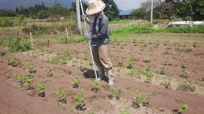そこで大切な空気層を守るため、なるべく畑が乾いてから畑に入るようにして、そうやって自然のリズムに沿いながら、ぴたらファームでは作物と向き合っています。