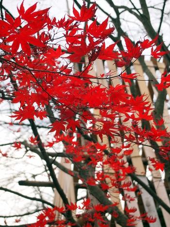 11月中旬以降でも、園内にはもみじが鮮やかに咲いていることが。雪囲いをバックにもみじが咲き誇る様子は、厳しい北国の冬をたくましく生きようとする植物の力強さを感じます。