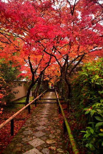 光悦寺の紅葉はとくに参道の景色が美しいと言われています。また次にご紹介する源光庵も近くにあるのでぶらりと2か所を巡るのもおすすめです。