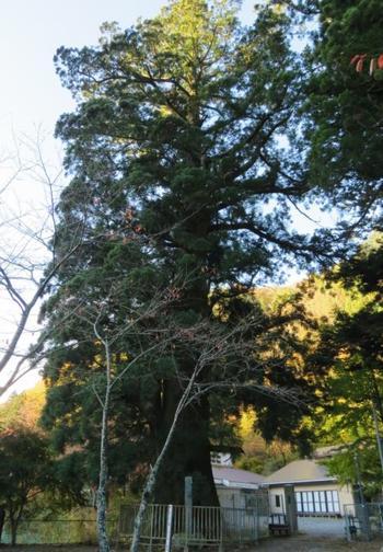 精進湖北岸には山梨県で1番大きいスギがあります。諏訪神社(すわじんじゃ)の御神木、精進の大杉(しょうじのおおすぎ)です。樹齢約1200年、根回り約13メートルの大きさは全国的にも有数。