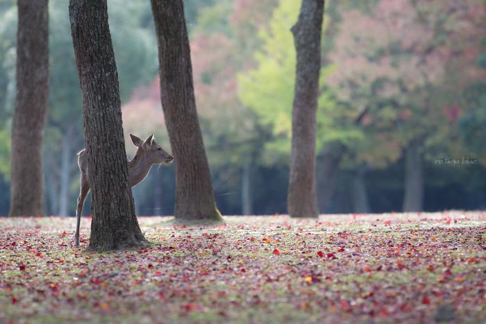 """奈良県のマスコット""""鹿""""に触れられるスポットといえば「奈良公園」。東西4km、南北2kmにおよぶ奈良公園敷地内には東大寺、興福寺、春日大社もあります。春は桜、秋から冬にかけては紅葉が楽しめる都市公園です。"""