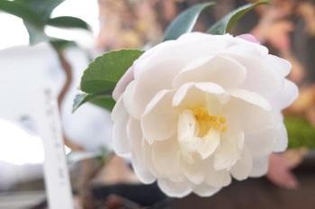 白いサザンカの花言葉が対照的なのはなぜでしょう? ↓↓↓