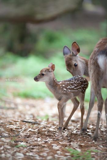 鹿の出産シーズンは、5月中旬から6月頃。赤ちゃん鹿がお母さん鹿と一緒に行動できるようになる7月中旬までは、春日大社境内「鹿苑(ろくえん)」で「子鹿公開」のイベントが開催されます。それ以降は、奈良公園を散策中に鹿の親子に会えることも…。