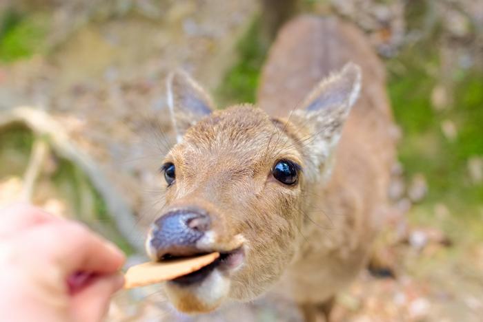 鹿せんべいをあげると、かわいい鹿を間近で見られますよ♪