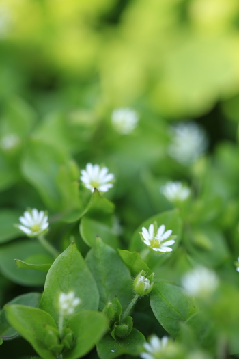別名は、春の七草のひとつ「はこべら」。 冬は、霜が降りたり雪が積もったりと野の花には厳しい季節ですが、それでも青々とした葉を茂らせ、小さな花を咲かせます。道端で見つけたら摘んでグラスに生けてみてはいかが。