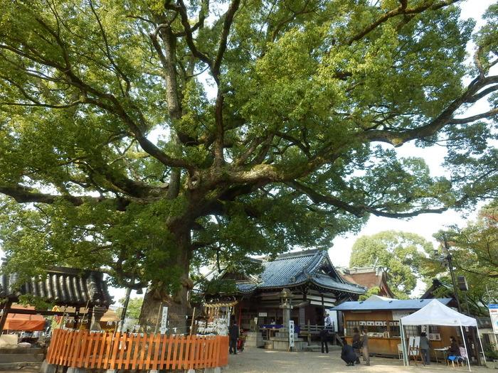 百舌鳥八幡宮の境内は広く、その面積は約1万坪に及びます。境内にある大きな楠の木は、樹齢約800年のもので、大阪府の天然記念物に指定されています。