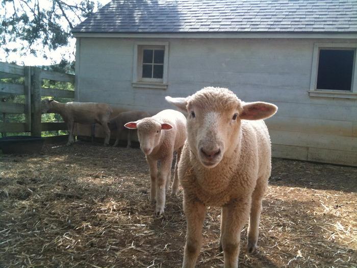羊毛を目的として交配されたメリノ種は、羊毛が細かく、毛色が白いため染色しやすいという特徴をもつ最高級のウールです。