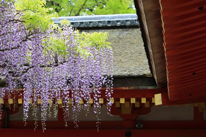 春日大社境内にある藤棚は、5月初旬頃に花房が砂にすれるくらいまで長くなることから「砂ずりの藤」と呼ばれています。樹齢は700年以上なのだそう。