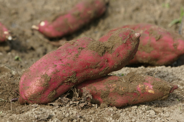 温かい地域で育つサツマイモは寒さが苦手なので、常温保存が基本。長期保存するならできるだけ土がついたままで、新聞紙に1つずつ包んだら、通気性のいい段ボールや紙袋などに入れて保存しましょう。水分がつくと腐りやすくなるので、水洗いはNGです。  高温過ぎると発芽してしまい、低温すぎると傷みが早くなるので、適度な温度と湿度が必要です。