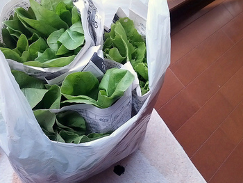 ほうれん草や小松菜は、濡らした新聞紙で包んでからビニール袋に入れて、立てた状態で冷蔵庫の野菜室で保存します。 葉の部分を乾燥させないことが大切。 水で湿らせたキッチンペーパーを茎の部分に巻きつけてから新聞紙で包むと、より長持ちさせることができます。