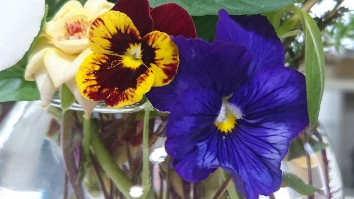 19世紀中頃のイギリスで、よりおおきくはなやかな群生をめざしてスミレの花を品種改良した結果、誕生しました。 名前の由来は、うつむき加減に咲く姿が思考(フランス語の「pensée」/パンセ)する人間に似ていることから。