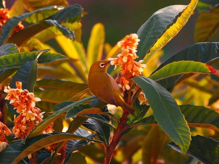 """バラ科の常緑高木で、中国と日本が原産。江戸時代に、果物として中国原産のものが広まりました。 食べた後の種を鉢に植えると、数週間で発芽し、半年後には花が咲きます。花は目立たないものの、""""杏仁豆腐のような""""と形容される香りを放ちます。画像の鳥はメジロ。ビワの花の蜜が大好物ですから、開花中は毎日のようにやってきますよ。"""