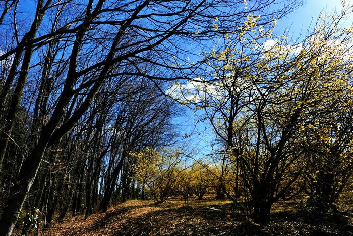 """クスノキ目・ロウバイ科・ロウバイ属。木は2-3mほどの高さで、お正月を過ぎた頃、庭や公園に、うっすら蝋をかけたようなクリームイエローの花を咲かせます。海外では""""ウインタースウィート""""とも呼ばれている甘い香りをどこからともなく感じたら、必ず近くにロウバイが咲いていますよ★"""