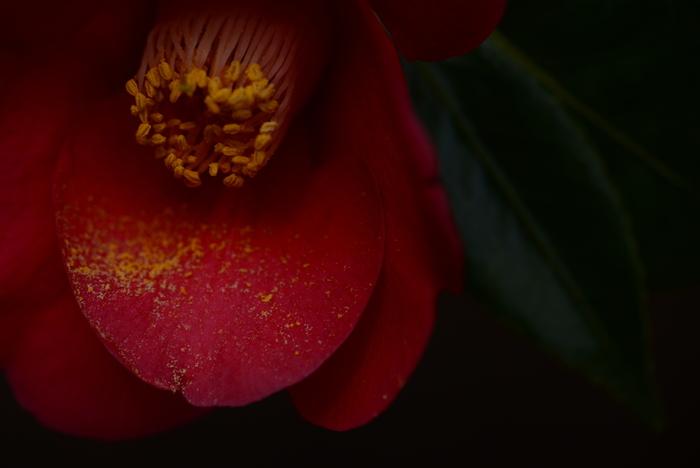 """万葉集に数多くの歌が詠まれ、古くから茶の湯にも多く使われてきたツバキ科ツバキ属の常緑樹。 西洋の花言葉は「admiration(敬愛、感嘆)」「perfection(完全、完璧)」。""""東洋のバラ""""と呼ばれて18-19世紀ヨーロッパの社交界で人気を博し、デュマフィスの小説「椿姫」はオペラの原作になりました。"""