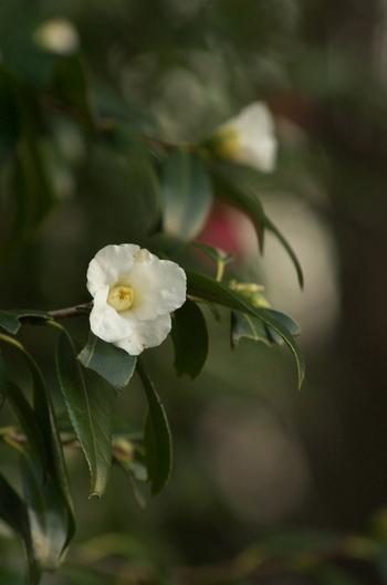 千利休が愛したワビスケにもさまざまな品種があります。こぢんまりつつましやかな姿に花言葉が反映されて。