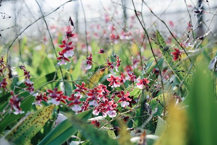 【連載】『霽れと褻』代表・田中さんに教わる 「花ごよみ」vol.6-オンシジウム・シャーリーベイビー