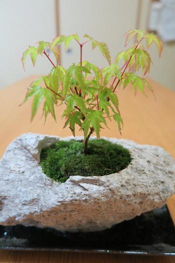 軽石でできた植木鉢に山苔と紅葉を植えた盆栽。ゴツゴツした軽石の質感と、紅葉の淡い葉色、赤い枝の色合いが素敵です。