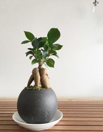 """ユニークな形と""""精霊が宿る木""""と知られることから、観葉植物でも人気のガジュマルは、ミニ盆栽にもおすすめの品種です。 その独特な形は、和風の植木鉢にも、洋風の雰囲気にもお似合い。 カジュアルに盆栽を楽しみたい、洋風リビングに似合う盆栽が欲しいという人におすすめ!"""