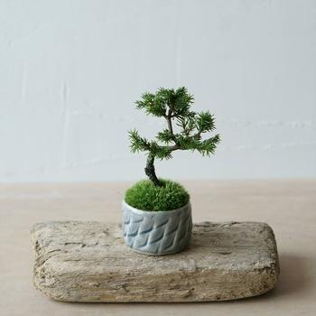 松の魅力は、重厚感のある樹形と手入れにかかる技術と知識。盆栽にハマるほど、その奥深さがわかる松は、それだけ盆栽の魅力を楽しませてくれるはずです。