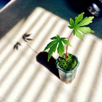 もみじは、日本の四季を感じさせてくれる代表的な植物です。  もみじの大敵は乾燥。土をからさないように注意して、日当たりと風通しのいい場所に置きます。夏は葉焼けしないように半日陰、冬は枝を保護するために風、霜があたらない場所に置いてよく日に当てましょう。