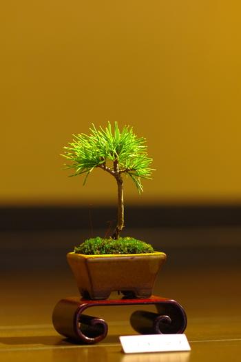 盆栽と聞くと、「松」を思い浮かべる人は多いのではないでしょうか。松は土の質を選ばないので、育てるだけなら初心者でも比較的簡単ですが、美しい樹形を保つには手入れが必要という一面もあります。