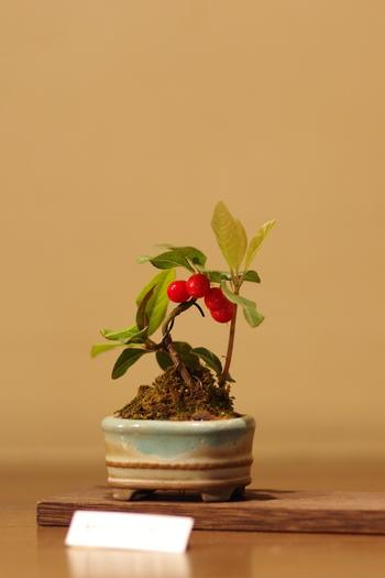 真っ赤な実をつけたヤブコウジ。小さな幹にたわわの実を付ける実もの盆栽は、初めてチャレンジする人にも植物の生長を実感できます。思わず頑張れ!と声をかけてしまうほど可愛らしい♪