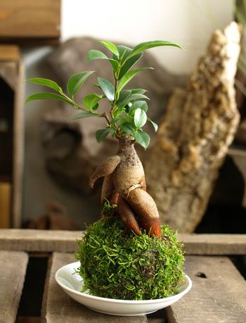 人気の苔玉にガジュマルを植え付けた可愛らしい盆栽。お部屋に舞い降りた精霊が、緑の苔玉にちょこんと腰掛けているみたいですね。
