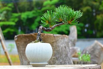 陶芸作家・若菜綾子さんの鉢を使用した、手の平ほどのミニ盆栽。和のイメージが強い松ですが、淡いブルーの器が洋風のインテリアにもしっくりなじませてくれそうです。