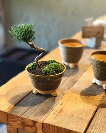 盆栽は、鉢に植えた草木を美しい姿に育て上げていく栽培方法の一つ。日本人には「盆栽」というと松の木というイメージが強いですが、桜や梅、観葉植物でお馴染みの草花を植え付けて、カジュアルに楽しむこともできるんです。