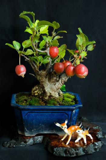 山査子や姫リンゴなど、秋になると真っ赤な実を付ける盆栽も人気のの品種。つぼみから花が咲いて実をつけるまで、毎日の変化が楽しみです。