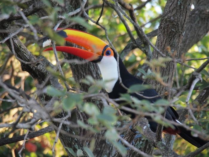 「南米の第二の肺」とも呼ばれるほど、手つかずの自然が残っていて、深い森林や熱帯雨林の中には、トゥカノ(写真中央)やオウム、アナコンダやイグアナ、ホエザルなど多様な野鳥や野生動物たちがのびのびと暮らしています。